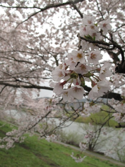 白石川堤 - 一目千本櫻