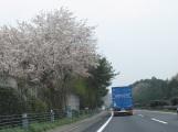 路上已經看到盛開的櫻花