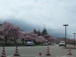 櫻花真是隨處可見