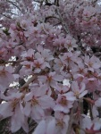 瀧櫻の花 @ 1