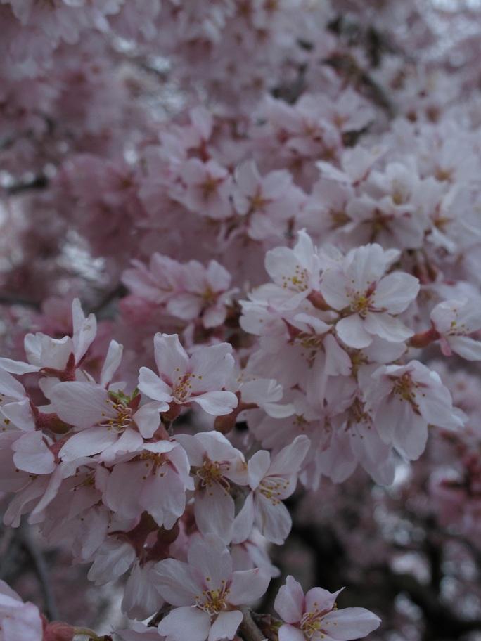瀧櫻の花 @ 2