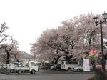 停車場的櫻花都這麼厲害 LoL