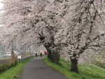 其實雨下的櫻花也有另一種美