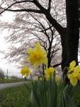 櫻花樹下的小黃花