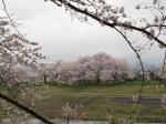 對岸的櫻花也很棒