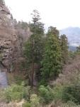 山上的大杉