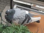 很胖的鴿子