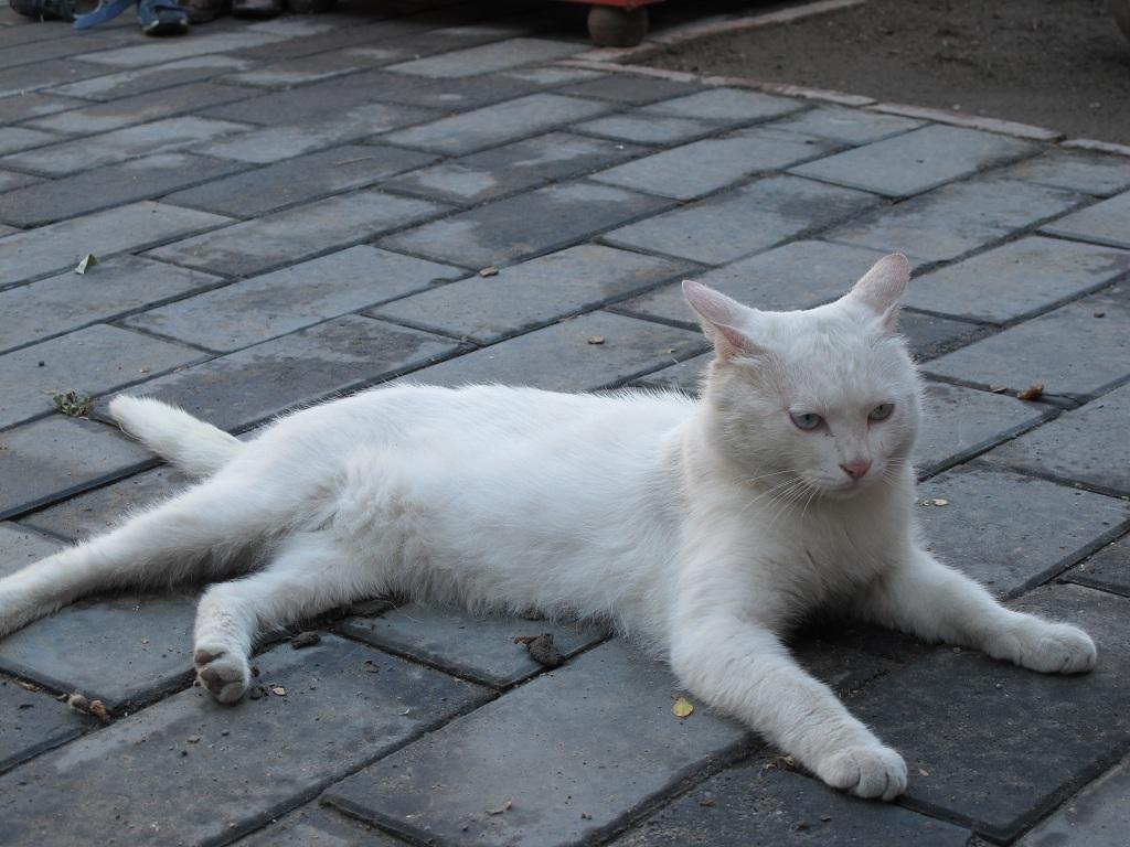 店內的白貓