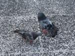 右邊那隻是發情的公鴿