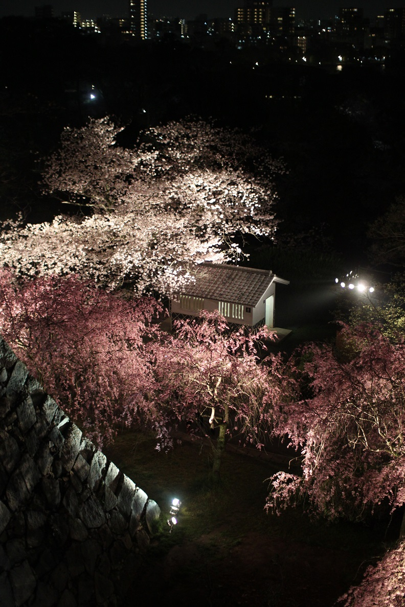 fukuoka-sakura